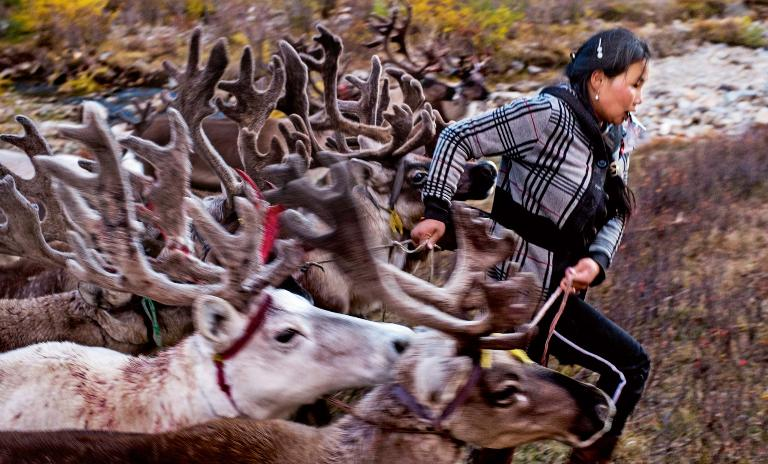 A female member of the nomadic Tsaatan tribe herds a group of reindeer through a field