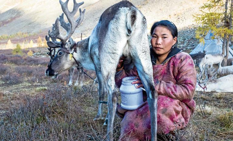 A female member of the nomadic Tsaatan tribe crouches next to a reindeer she is milking