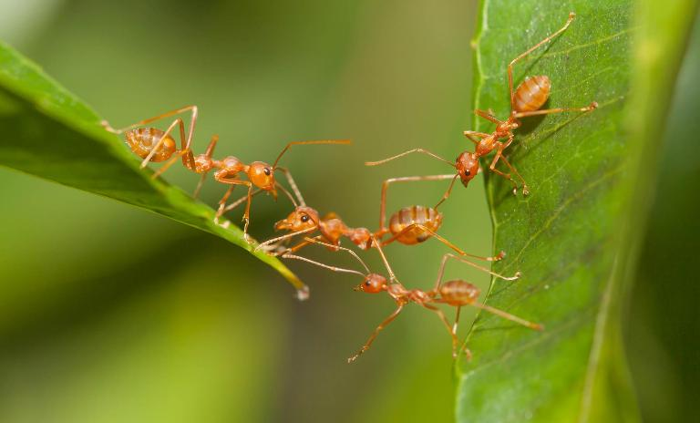 Ants as quick-change artists: Companies can learn from them to act with higher flexibility.